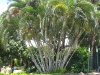 lutescens (Areca/Golden Cane Palm)