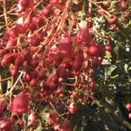 Brachychiton Gerildere Red IMG_20121212_083819_223.jpg