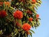flammeum (Queensland Tree Waratah/Red Silky Oak)