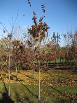 - Quercus rubra (Northern Red Oak)