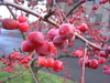 floribunda (Japanese Crab Apple)