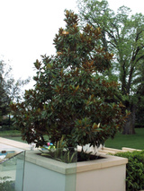 - Magnolia grandiflora 'Little Gem'