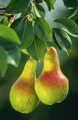 - Pyrus (various fruiting pears)