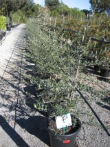 - Olea europaea 'Tolleys Upright'