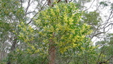 longifolia (Golden/Sallow Wattle)