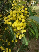 pycnantha (Golden Wattle)
