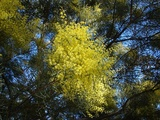 boormanii (Snowy River Wattle)