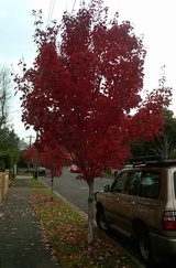 rubrum 'October Glory'