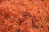 palmatum (Japanese Maple)