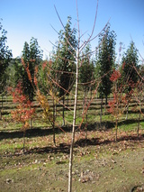 - Acer negundo 'Sensation' (Box Elder Maple)