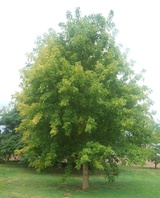 negundo 'Sensation' (Box Elder Maple)