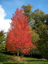 rubrum (Red Maple)
