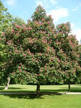x carnea (Red Horse Chestnut)
