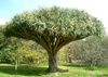 draco (Dragon Tree)