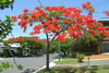 regia (Royal Poinciana/Flame Tree)