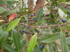 reticulatus (Blueberry Ash)