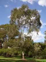 - Eucalyptus scoparia (Wallangarra White Gum)