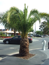 capitata (Jelly Palm/Wine Palm)