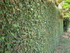 pumila (Creeping Fig)