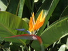 reginae (Bird of Paradise)