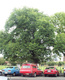 procera (English Elm)