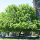 parvifolia (Chinese Elm)