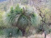 australis (Grass Tree/Black Boy)
