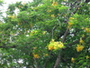 regia var. flavida (Yellow Poinciana)