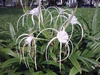 littoralis (Beach Spider Lily)