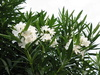 oleander (various colours)